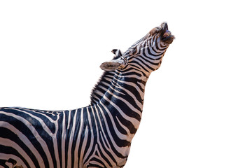 laughing zebra isolated