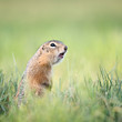 Screaming gopher