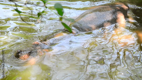 Hippopotamus in river