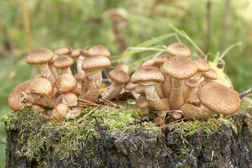 Honey agarics
