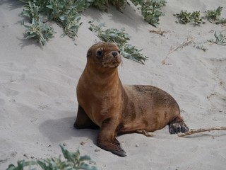 Baby Australian sea lion  on the beach