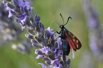 papillon prélevant du nectar