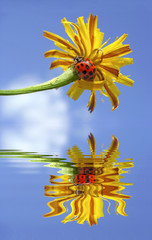 Ladybug on flower above water with reflection