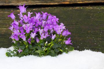 Glockenblumen vor Holzwand im Schnee