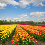 Dutch yellow  and orange tulip fields in sunny day