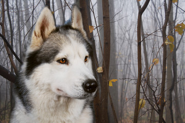 Siberian Husky in the autumn forest