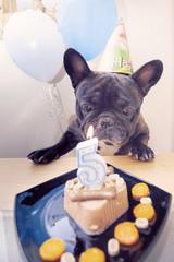 French bulldog has a happy birthday