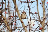 Eurasian Tree Sparrow on a branch of wild rose - winter