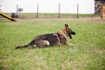 German Shepherd laying on the green grass