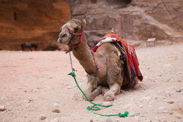 Camel rests near the Al Khazneh in Petra, Jordan