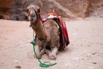 Bedouin camel in Petra