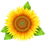 Flower of sunflower with leaves, isolated on white, vector