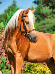 portrait of wonderful palomino welsh pony