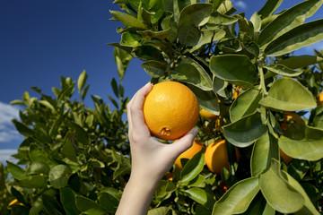 Hand pflückt Orange vom Baum