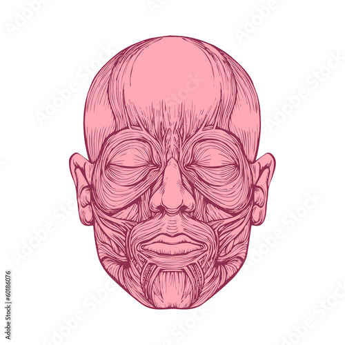 muscle of face, human head anatomy, medical illustration