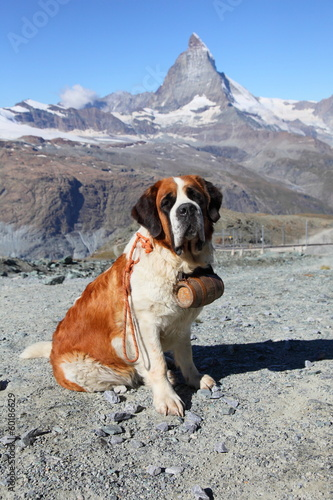 Saint Bernard dog at Matterhorn mountain, Switzerland