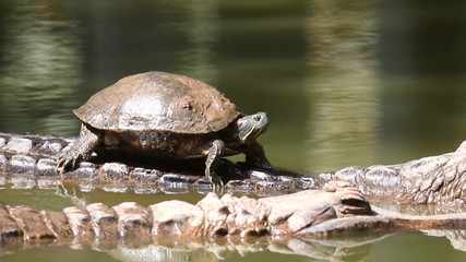 Turtle ride on crocodile back