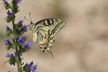 Бабочка махаон на цветке статицы