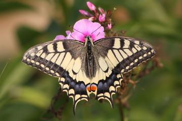 Бабочка махаон на цветке флокса