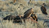 White-backed vultures (Gyps africanus) scavenging on a carcass poster