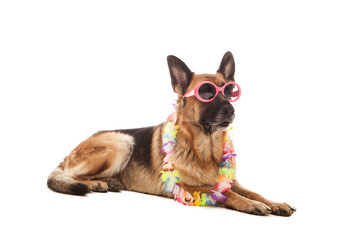 Single German Shepherd in Hawaiian style