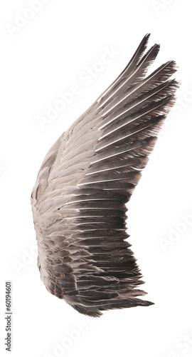Plexiglas Vogel Wild goose wing. Isolated on white background.