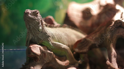 Lizard resting on a branch in the terrarium