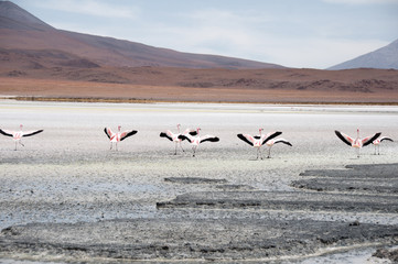 Flamingos in a Salt flat of Andes range (Bolivia)