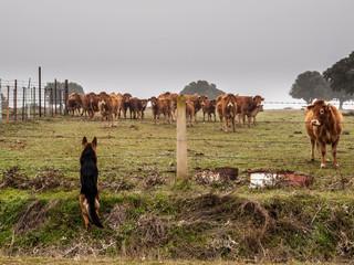 Pastor Alemán cuidando vacas