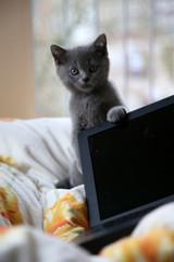 Britsch Kurzhaar Baby mit Laptop im Bett