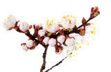 branch with apricot flowers