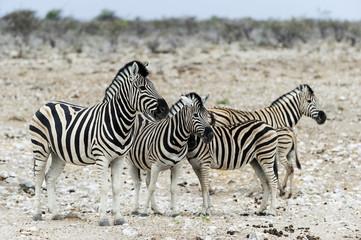 Zebras im Etosha Park, Namibia