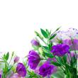 Violet Eustoma flowers