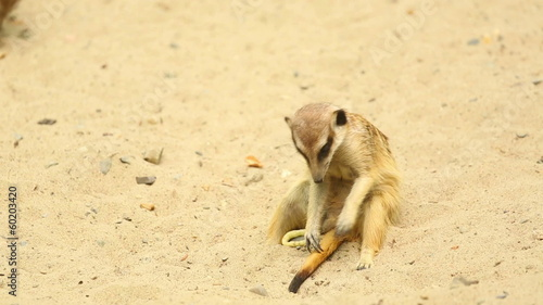 Two meerkats playing on the sand.