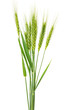 Green wheat isolated - 60207428