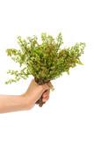 Neem leaves-Azadirachta indica, Margosa, Quinine (Azadirachta in
