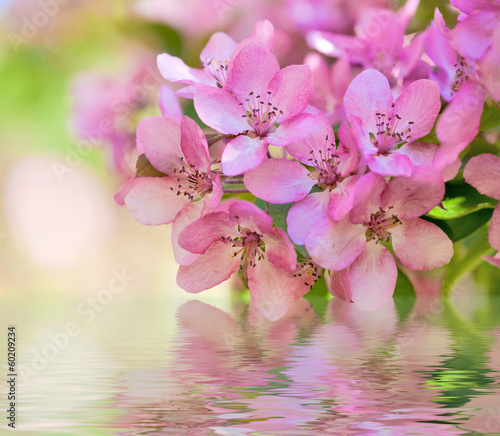 macro of pink apple tree flowers with reflection
