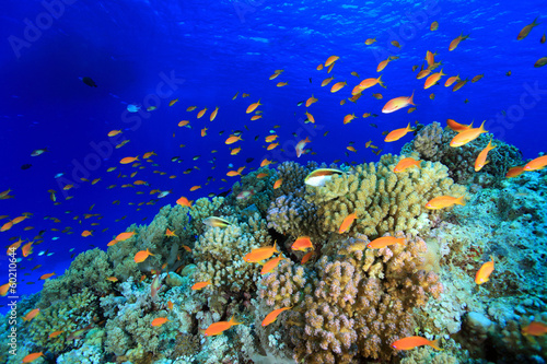 Colorful fish in the tropical reef of the red sea - 60210644