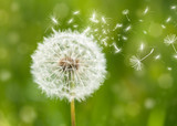 dandelion with flying seeds - 60211614