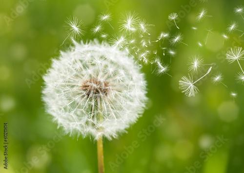 Aluminium Paardebloemen dandelion with flying seeds