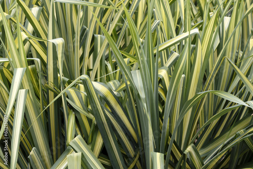 Variegated Sedge Grass