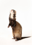 Ferret standing on rear legs