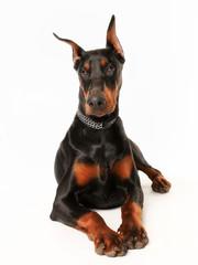 Purebred dobermann dog