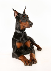 Studio shot of doberman pinscher