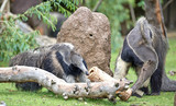 Two anteaters eating