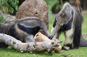 Two anteaters licking with tongue