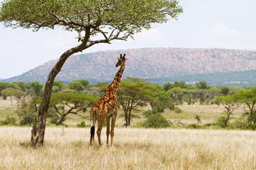Giraffe under a tree in Serengeti