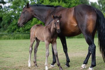 Pferdefohlen mit Mutter
