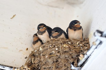 Young barn swallow in nest