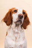 Portrait of Cross-breed Spaniel